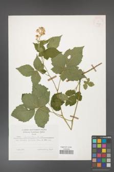 Rubus corylifolius [KOR 25197]
