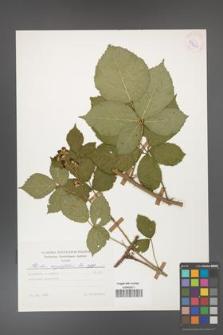 Rubus corylifolius [KOR 53921]