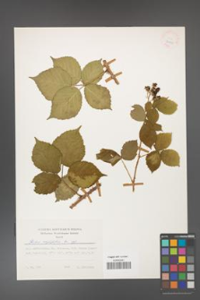 Rubus corylifolius [KOR 24910]