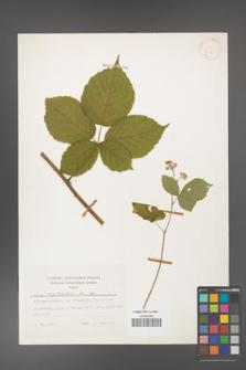 Rubus corylifolius [KOR 24845]
