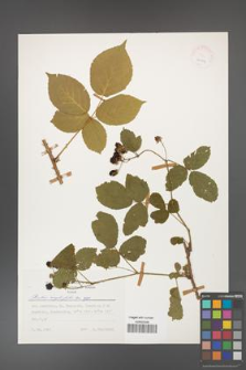 Rubus corylifolius [KOR 24907]