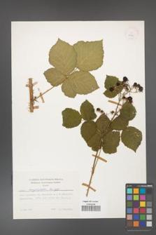 Rubus corylifolius [KOR 24908]