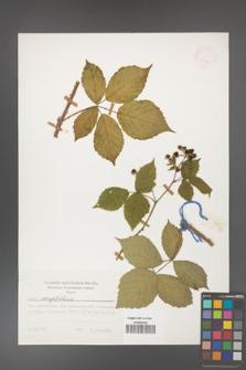 Rubus corylifolius [KOR 24834]