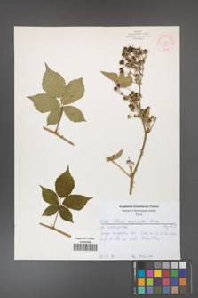 Rubus corylifolius [KOR 52169]