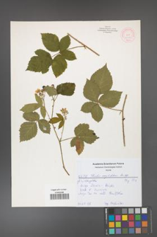 Rubus corylifolius [KOR 52162]