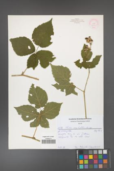 Rubus corylifolius [KOR 52150]