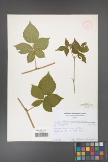 Rubus corylifolius [KOR 52151]