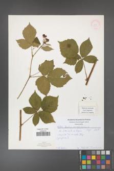 Rubus corylifolius [KOR 52144]