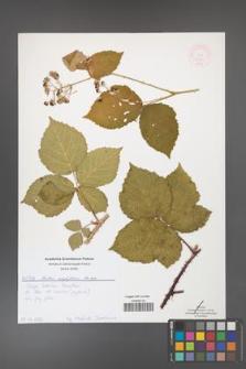 Rubus corylifolius [KOR 51895]