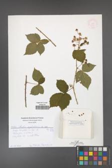 Rubus corylifolius [KOR 51898]