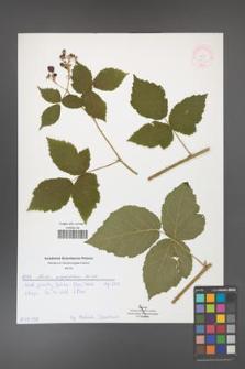 Rubus corylifolius [KOR 51903]