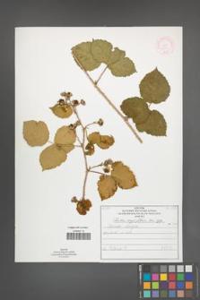 Rubus corylifolius [KOR 51907]