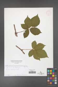 Rubus corylifolius [KOR 51908]