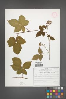Rubus corylifolius [KOR 51915]