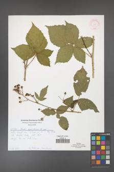 Rubus corylifolius [KOR 51911]