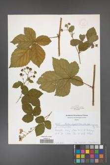 Rubus corylifolius [KOR 52192]