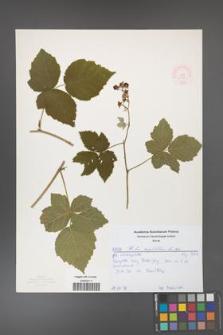 Rubus corylifolius [KOR 52178]