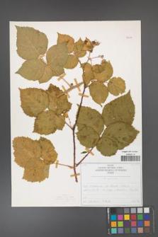 Rubus corylifolius [KOR 50714]