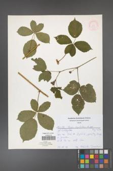 Rubus corylifolius [KOR 52164]