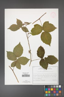 Rubus corylifolius [KOR 52143]
