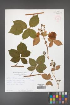 Rubus corylifolius [KOR 52128]