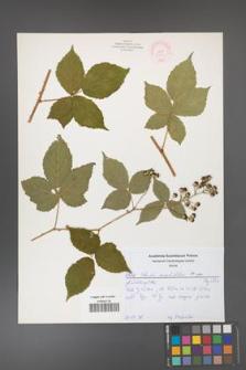Rubus corylifolius [KOR 52170]