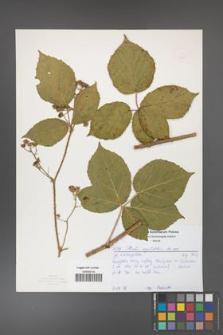Rubus corylifolius [KOR 52171]