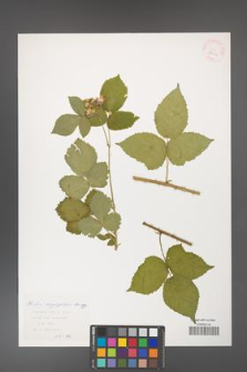 Rubus corylifolius [KOR 29916]