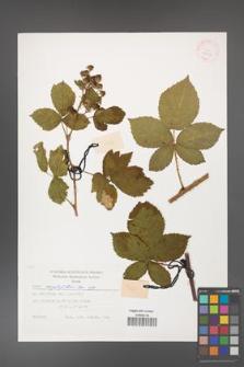 Rubus corylifolius [KOR 29424]