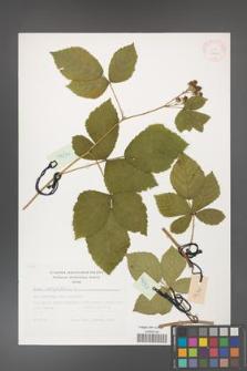 Rubus corylifolius [KOR 29443]