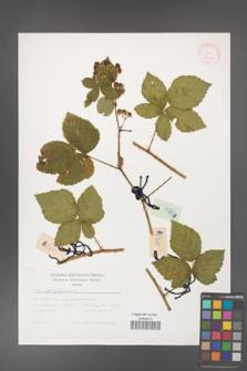 Rubus corylifolius [KOR 29441]
