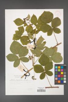 Rubus corylifolius [KOR 29471]