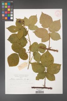 Rubus corylifolius [KOR 29474]