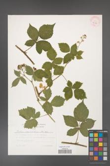 Rubus corylifolius [KOR 32255]