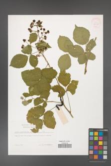 Rubus corylifolius [KOR 32248]