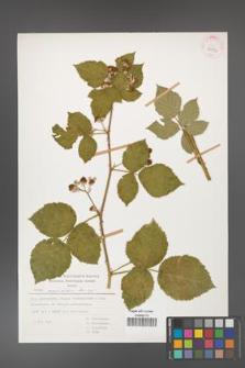 Rubus corylifolius [KOR 29932]