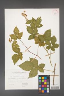 Rubus corylifolius [KOR 29951]
