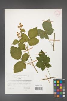 Rubus corylifolius [KOR 29954]