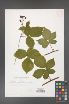 Rubus corylifolius [KOR 29374]