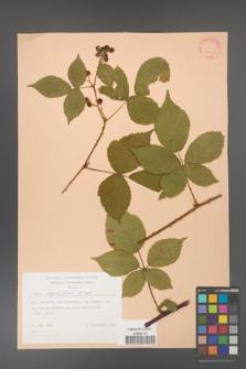 Rubus corylifolius [KOR 31436]