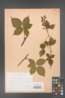 Rubus corylifolius [KOR 31438]