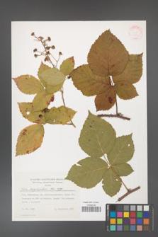 Rubus corylifolius [KOR 31419]