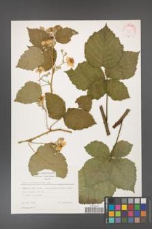Rubus corylifolius [KOR 31416]