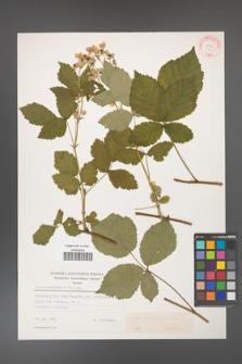 Rubus corylifolius [KOR 31417]