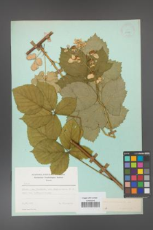 Rubus corylifolius [KOR 23751]