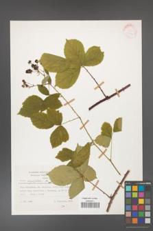 Rubus corylifolius [KOR 25712]