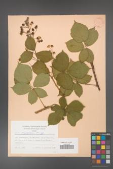 Rubus corylifolius [KOR 31424]