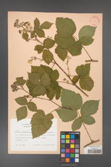 Rubus corylifolius [KOR 31439]