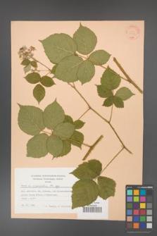 Rubus corylifolius [KOR 31407]
