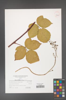 Rubus dollnensis [KOR 39675]